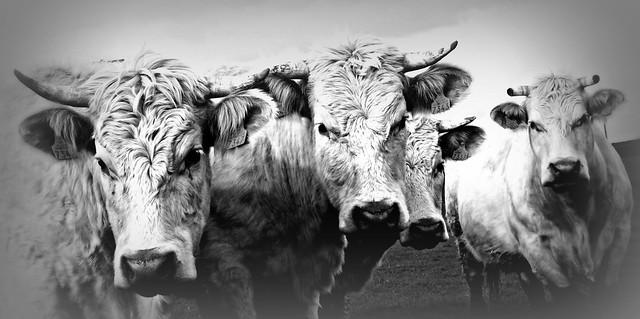 306 Cows 2