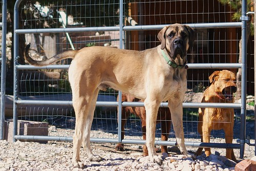 Great Dane Saint Bernard Mix Puppy