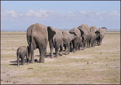 Amboseli Elephants.