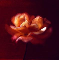 The dark side of the rose (Visualtricks) Tags: light red rose dark petals textures explore449 sensationalphoto