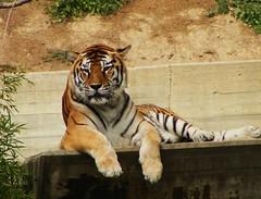 Un tigre muy rayado. (Curro61) Tags: madrid cats rayas animals zoo stripes tiger gatos animales tigre rayado fieras untigremuyrayado