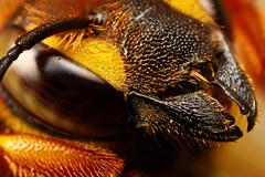 Cuckoo Bee Portrait I