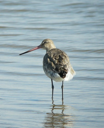 Black-tailed Godwit by Simon