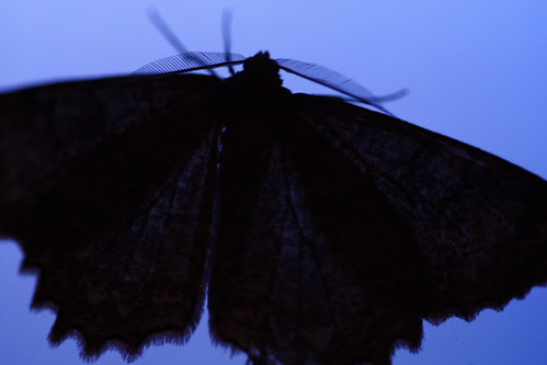 This giant moth is like the