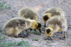 Group of Goslings eating (donjd2) Tags: ca usa bird goose mountainview gosling shorelinepark canadagoose babyanimals