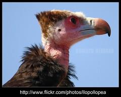 IMG_4604 (llopollopea) Tags: valencia birds animals canon zoo aves pajaros animales buitre zoologico carroero bioparc 55250 fvac 1000d