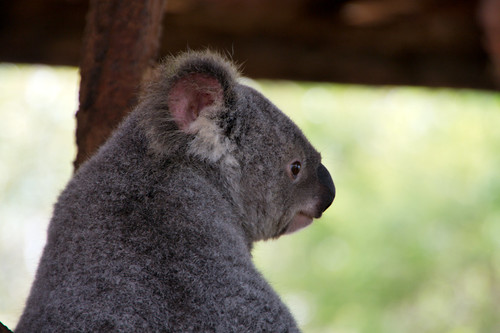 park travel wildlife australia backpacking koala backpacker rtw aroundtheworld billabongsanctuary 175days