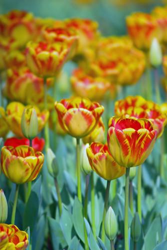 yellow-red tulips, istanbul tulip festival 2009, istanbul lale festival 2009, sarı ve kırmızı laleler, istanbul emirgan, pentax k10d