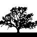 JUSTIN TURNER OAK TREE 1