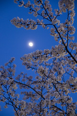 Cherry Blossom and the Moon
