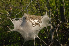 Tent caterpillars and nest (chasdobie) Tags: worms armyworms insect bugs animalarchitecture ontario caterpillars tentcaterpillars canada web