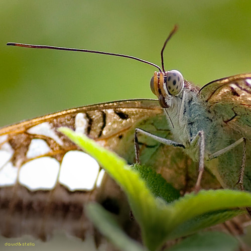 Banded Swallowtail II {papilio demolion}