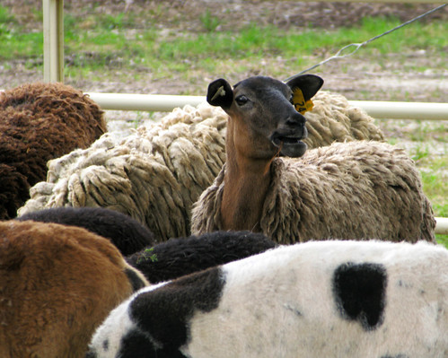 the iowa sheep and wool festival  dallas county fairgrounds  adel  iowa
