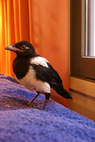 Our tame magpie Fridjof
