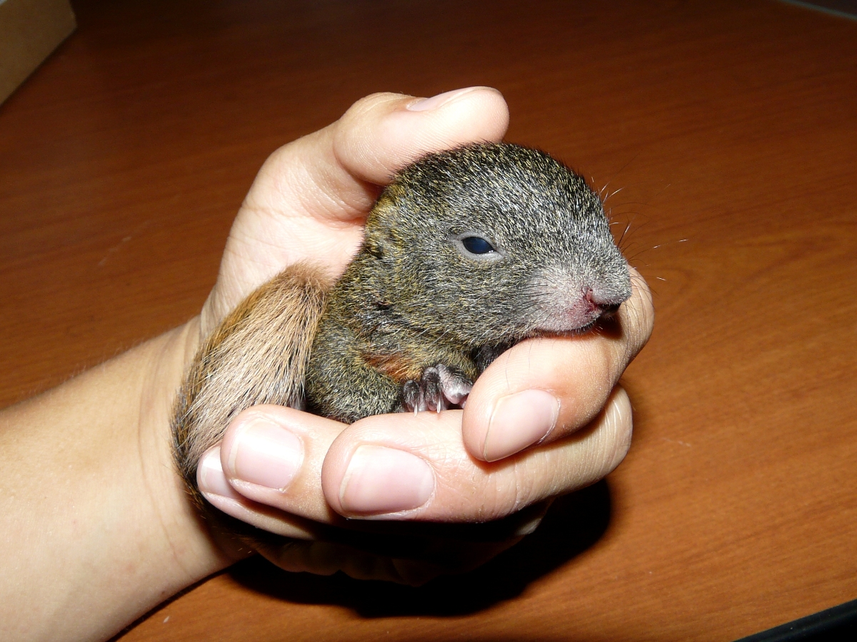 Rescued Baby Red-bellied Tree Squirrel (Callosciurus erythraeus) - 赤腹松鼠