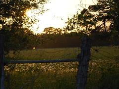 Country Sunset Illumination (maorlando - God keeps me as I lean on Him!!) Tags: trees sunset usa nature rural fence glow texas illumination creation seedheads settingsun yaupon zionroad tomballtx cedarpost harriscountytx texasscenes