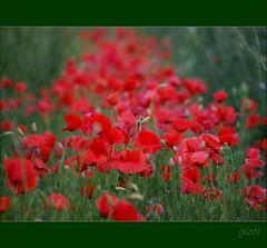 mille papaveri rossi (gicol) Tags: red italy flower fleur field rouge rojo italia flor poppy campo fiore rosso salento puglia coquelicot apulia papavero sanpietrovernoticobr