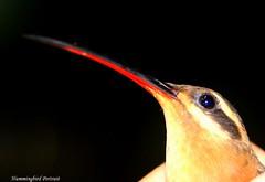 Hummingbird Portrait (tinica50) Tags: friends closeup hummingbird beijaflor soe naturesfinest blueribbonwinner platinumphoto shutterbox goldstaraward