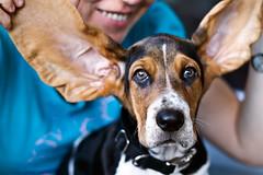 columboy_victor2_02 (Columboy.2079) Tags: dog chien puppy hound victor basset bb chiot tricolore columboy