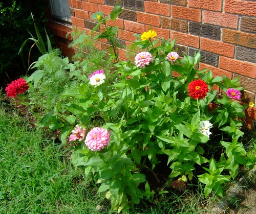 Zinnias and Wildflowers