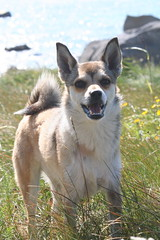 Vrytreffet 2009 - dag 5 - Mstad (Lundtola) Tags: lundehund puffindog hunder dogs vry vry2009 varoy varoy2009 mstad mostad
