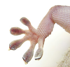 Secrets of the Gecko Foot Help Robot Climb