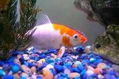 fish lumix aquarium goldfish panasonic larrypage fz50 sh45 afish scavengerhunt101