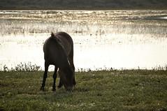 Noordhollands Duinreservaat (BrenPict) Tags: horse dunes paard 2011 noordhollandsduinreservaat
