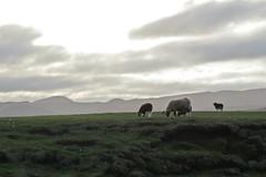 Grazing (Margrt A. - THANK YOU FOR 1.000.000 VIEWS :-)) Tags: sun iceland islandia sheep sland islande island krisuvik