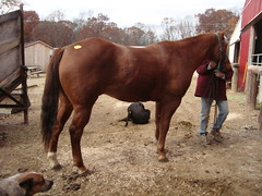 AC4H Chas - Quarter Horse (Another Chance for Horses) Tags: horse chestnut quarterhorse ac4hcom