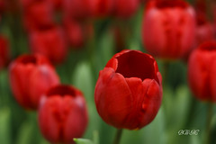 Tulipa rubra {HNFF} ( B i b b i ) Tags: flowers winter red flower green canon 50mm vinter tulips sweden stockholm bokeh tulip blomma sverige blommor 2009 30d rd grn tulpan tulpaner canon30d canon50mmf18ii niftyfifty 50mmf18ii keshov tulpanutstllning happyniftyfiftyfriday hnff tulipexhibition