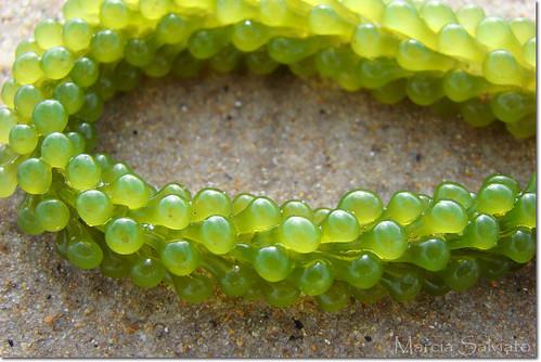 Green Grape Algae - Caulerpa uva