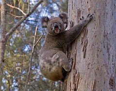 koala Story - hope you enjoy it. (daKing pics) Tags: koala goldcoast australiananimals queenslandaustralia coombabah supershot animaladdiction impressedbeauty vosplusbellesphotos