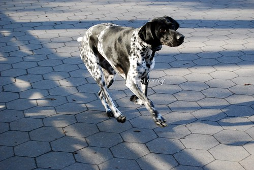 Pointer+dog+black+and+white