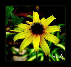 Sun-Kissed (LelisA) Tags: fun soe sunkissed inmygarden naturesfinest anaheimca beautysecret blackeyedsusie mywinners abigfave goldstaraward