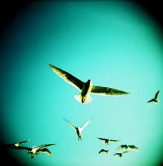 Delight (liquidnight) Tags: seattle park sky seagulls colour 120 film birds mediumformat iso100 freedom flying holga wings xpro feeding kodak gulls birding flight free happiness slidefilm delight agility crossprocessing kodake100vs ektachrome birdwatching e100vs frenzy goldengardens larus agile 120cfn occidentali