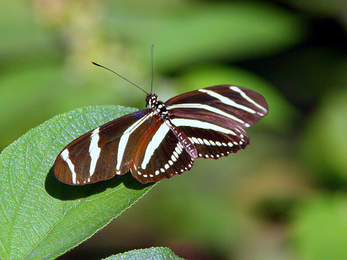 Zebra Heliconian 20090316