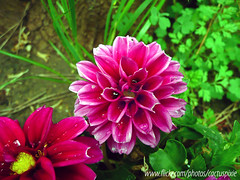 "Dahlia x hortensis ""Dahlstar Sunset Pink"" (Cactus*Pixie - War is something I DESPISE -) Tags: dahlia italy rome flower"