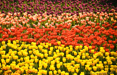 Bed of Tulips (jon.noj) Tags: pink red white flower yellow hongkong interestingness spring purple tulips explore layer fp frontpage multicolor signsofspring interestingness32 karmapotd bedoftulips jonbinalay hongkongflowershow2009 interestingness10hp