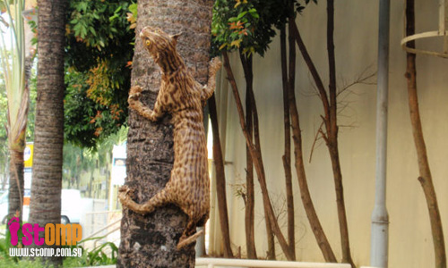 Civet cats on Tanglin Halt tree? Look again