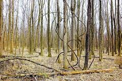 Vine aka Whirling Dervish (Oblivious Dude) Tags: trees alexandria virginia vine tokina1224 va dcist huntleymeadows wpblog