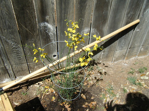 Spanish Broom (Spartium Junceum)