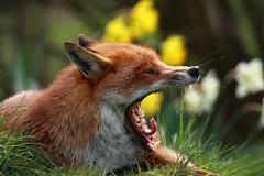 big yawn (felt_tip_felon) Tags: bwc redfox vulpesvulpes potofgold