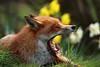 big yawn (felt_tip_felon®) Tags: bwc redfox vulpesvulpes potofgold
