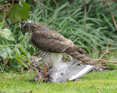 Female Sparrowhawk (Flxzr) Tags: birds garden dumbarton sparrowhawk