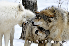 Wolf Fight! (jeanniepaul) Tags: teeth ely wolves snarl redwolf cower minnestota articwolf flickrdiamond
