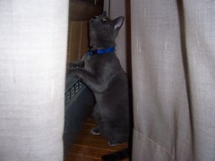 Watching The Storm (k8southern) Tags: cats plum bluecat graycat