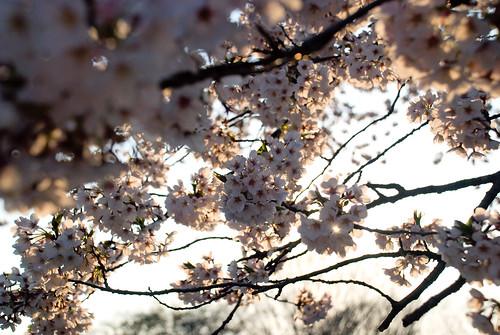 Sakura in Yoyogi 06