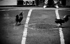 COCKFIGHT (111) (Peter_O'Driscoll) Tags: gambling game spur fight fighter attack culture cockpit clash peter coliseum rooster tradition breed combat gamble betting bet cultural gladiator manok gamecock gambler gallera sabong wager bloodsport cockfighting odriscoll stamina warrier panay gamefowl hahnenkampf cityoflove iloilocity combatdecoqs rinhadegalo bulang  colseum sagupaan g combattimentodigalli bulangan pasampok   riadegallos   sabonero manoktukaan peterodriscoll