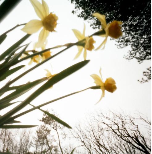 Narcissi pinhole image